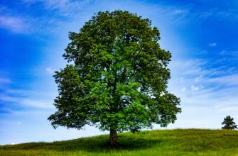 Характеристика элемента Дерева Ян и Дерева Инь в карте Бац Зы